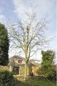 Broadleaf-Tree